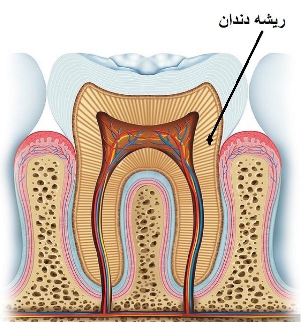 آناتومی دندان - ریشه