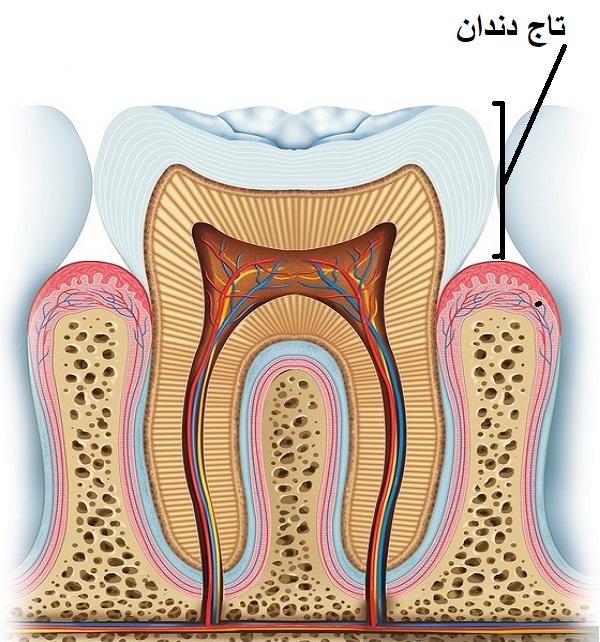 آناتومی دندان - تاج دندان