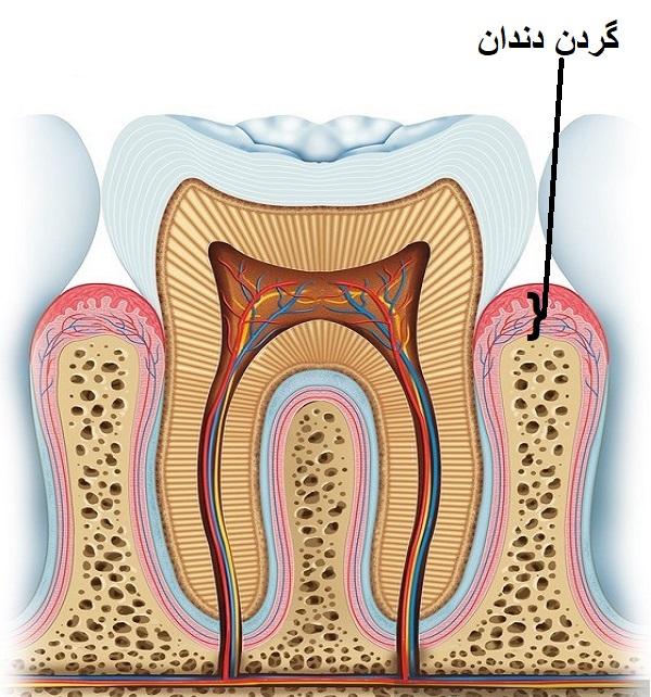 آناتومی دندان - گردن دندان